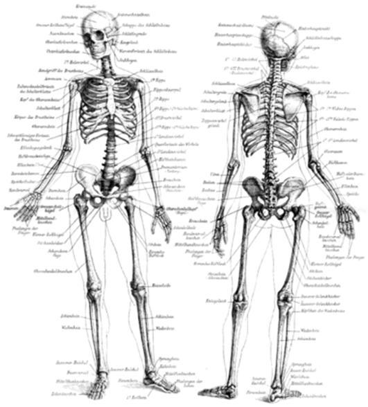 Knochenbildung: chondrale und desmale Ossifikation – Die kleine Welt ...