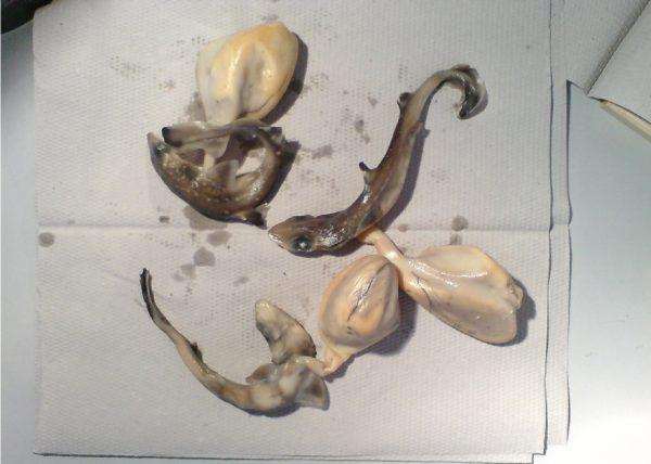Hai Embryos mit Dottersack. Viele Haie sind lebendgebärend.
