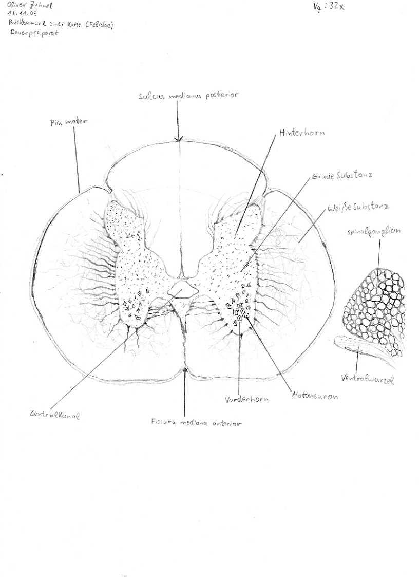 Wunderbar Rückenmark Querschnitt Bilder - Menschliche Anatomie ...