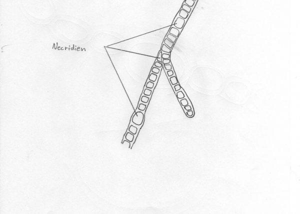 Detailzeichnung Spross-Querschnitt Aristolochia