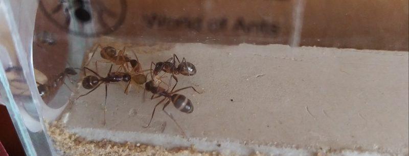 Arbeiterinnen helfen Ameise beim Schlüpfen aus Kokon